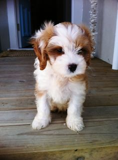 A lovely blog, but the cutest dog, ever...a Cavoodle named Barley. LOVE Cavoodle, Cavapoo, Poodle Hybrid, Poodle Mix, Oodle, Doodle, Dog, Puppy pinned by myoodle.com
