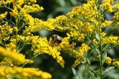 Solidago odora (Sweet goldenrod)