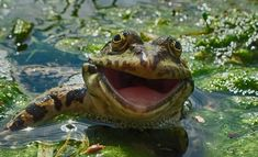 This photograph of a cheery frog is among the 40 finalists for this year's Comedy Wildlife Photography Awards. The contest received about entries from 75 countries. (Artyom Krivoshee via Comedy Wildlife Photography Awards) Comedy Wildlife Photography, Photography Awards, Animal Photography, Nature Photography, Funny Animal Photos, Funny Photos, Animal Pictures, Funniest Pictures, Animals Photos