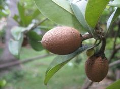 What Is Sapodilla Fruit: How To Grow A Sapodilla Tree -  Like exotic fruits? Then why not consider growing a sapodilla tree. When you care for sapodilla trees as suggested in this article, you'll find yourself benefitting from the tasty fruits in no time.