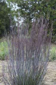 Prairie+Winds®+'Blue+Paradise'+-+Little+Bluestem+-+Schizachyrium+scoparium