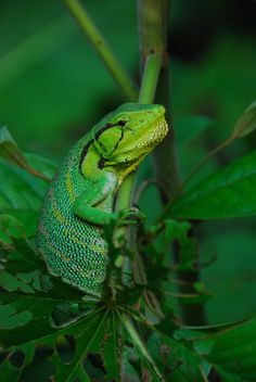 a gorgeous chameleon in the Amazon, Peru