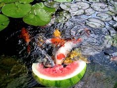 Koi are so much fun to feed!