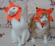 New trendy GIF/ Giphy. cat cats yay. Let like/ repin/ follow @cutephonecases