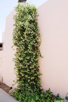 A Versatile Plant: How To Care For & Grow Star Jasmine. Star Jasmine, or Trachelospermum jasminoides, has glossy foliage & sweetly scented flowers. Garden Types, Star Jasmine Vine, Jasmine Jasmine, Fast Growing Flowers, Trachelospermum Jasminoides, Border Plants, Flowering Vines, Garden Trellis, Clematis