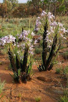 100 Seeds - Unique Flowering Palm-Like Shrub - Great for Bonsai - Xerophyta retinervis Rare Flowers, Pink Flowers, Small Shrubs, Blue Candles, Landscape Architecture, Bonsai, Garden Landscaping, Perennials, Nature