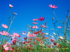 Blue Cosmos Flowers | cosmos flowers under blue sky 、Cosmos, fall, autumn Flowers, flower ...