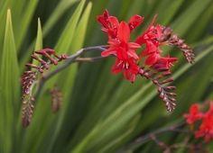 Crocosmia Bulb Care: Tips For Growing Crocosmia Flowers
