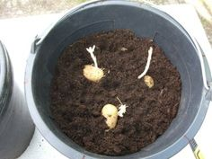 Growing Potatoes in Buckets : 4 Steps (with Pictures) - Instructables Grow Potatoes In Container, Planting Potatoes, Container Water Gardens, Container Gardening Vegetables, Vegetable Gardening, Bucket Gardening, Gardening Tips, Summer Garden, Lawn And Garden