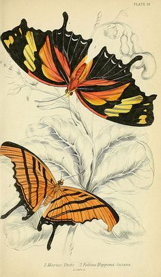 1858 - Foreign butterflies by James Duncan, Sir William Jardine, via bhl Science Illustration, Nature Illustration, Botanical Illustration, Botanical Prints, Illustration Botanique, Butterfly Illustration, Vintage Butterfly, Butterfly Art, Gravure