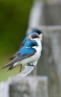 Tree Swallows on a Fence - love their colors! (And level of chubbiness)
