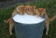 Fresh pail of milk, the farm cats love it