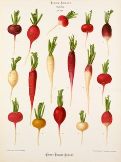 A Chromolithograph plate of radish varieties taken from the Album Benary. The Album contains 28 colour plates in total of vegetable varieties by Ernst Benary which are named in the accompanying page in German, English, French and Russian. 1877. Creator: Benary, Ernst (1819-1893)