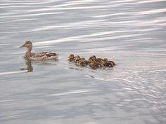 Steven Helmer Publications: Duck Family