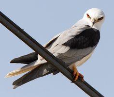 White-tailed Kite Elanus leucurus - Google Search