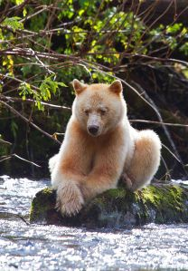 """Read """"Touching Spirit Bear"""" by Ben Mikaelson.The Kermode Bear also known as the """"spirit bear"""" ~ is a subspecies of the Black Bear living in the Central and North Coast of British Columbia, Canada Spirit Bear, Spirit Animal, Beautiful Creatures, Animals Beautiful, Animals And Pets, Cute Animals, Love Bear, Tier Fotos, Baja California"""