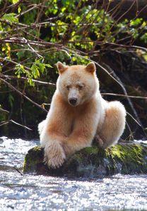 Kermode Spirit Bear (With images) Spirit bear