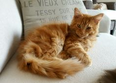 JC hobby Maine Coon
