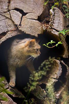 Petit Cabinet de Curiosites - magicalnaturetour:    Wild cat by Cloudtail    ...