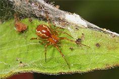 A social spider species, Anelosimus studiosus.Social Web: Female Spiders Adopt 'Warrior' or 'Nanny' Roles