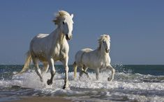 Camargue Horses Running in the Surf