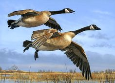 Canada Geese Pair- Wildlife painting by Scot Storm