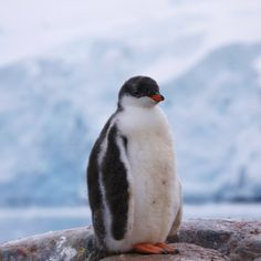 Gentoo Penguin, Penguins, Animals, Animales, Animaux, Penguin, Animal, Animais