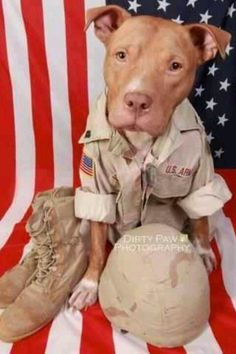 """American Pit Bull Terrier From your friends at phoenix dog in home dog training""""k9katelynn"""" see more about Scottsdale dog training at k9katelynn.com! Pinterest with over 18,600 followers! Google plus with over 120,000 views! You tube with over 400 videos and 50,000 views!! Serving the valley for 11 plus years #pitbull"""