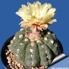 Astrophytum asterias cv. KIKKO nudum