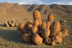 Copiapoa cacti (Copiapoa cinerea cinerea) in coastal Atacama desert landscape - Desert Cacti of northern Chile