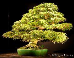 Fantastiche immagini su bonsai artificiali aura auras bonsai