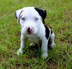 American Pit Bull puppy with blue eyes via Facebook.