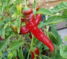 jimmy Nardello Pepper