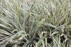 Dianela – Dianella tasmanica - planta herbácea, perene, serve como excelente forração. Dos rizomas carnosos, surgem as folhas, que são verde-escuras, longas e estreitas, com margens finamente serrilhadas. Elas alcançam até 80 centímetros de comprimento e 5 cm de largura