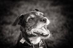 Oscar the Jack Russell by Jon Hayward Pet Photography