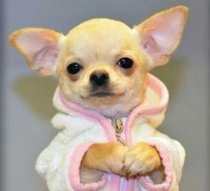"""After a performance, I chill!"" #dogs #pets #Chihuahuas facebook.com/sodoggonefunny"
