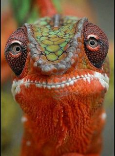 "Chameleon.  Visit Facebook: ""Animals are Awesome"". Animals, Wildlife, Pictures, Photography, Beautiful, Cute."