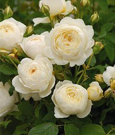 old fashion roses-I have a small section of my garden that is all white and green -it is lovely-and white makes  all of the other colors pop-a must in the garden