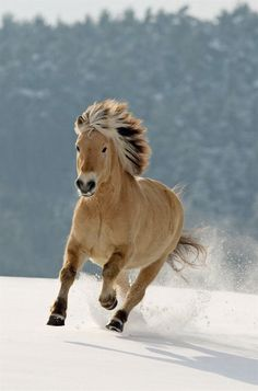 10 Gorgeous Horses with Amazing Hairs Norwegian fjord Horses In Snow, Cute Horses, Horse Love, Wild Horses, All The Pretty Horses, Beautiful Horses, Animals Beautiful, Horse Photos, Horse Pictures