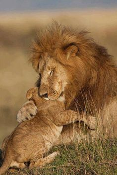 Lion father in a rare moment of sharing his love for his cub..