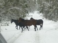Brumbies (wild horses)Loving the snow at Barrington Tops National Park NSW Australia
