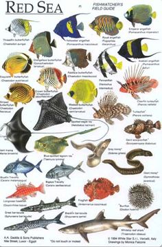 Ichthyology, the study of fishes. A Fish identification chart - Egypt. Under The Water, Fish Chart, Fauna Marina, Salt Water Fish, Kunst Poster, Types Of Fish, Marine Fish, Animal Posters, Animal Species