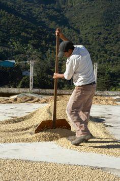 Drying Coffee Beans, Finca Vista Hermosa Coffee Plantation, Agua Dulce, Huehuetenango Department, Guatemala