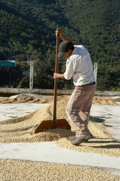 Drying Coffee Beans, Finca Vista Hermosa Coffee Plantation, Agua Dulce, Huehuetenango Department, Guatemala