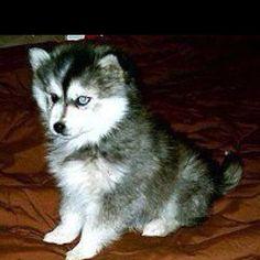 Pomsky puppy!