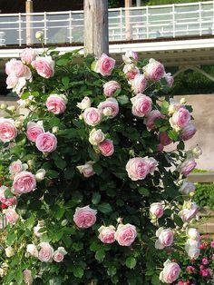 Pierre de ronsard/ eden rose
