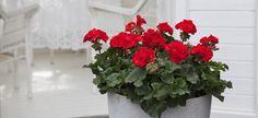 Slik steller du pelargonia   Stelletips fra Mester Grønn Garden, Flowers, Plants, House, Patio, Garten, Home, Lawn And Garden, Gardens