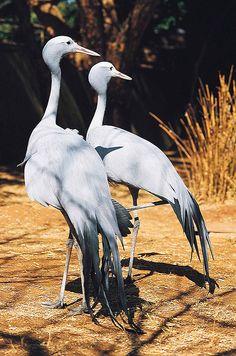 They Mate for Life Blue Crane - South Africa Pretty Birds, Beautiful Birds, Animals Beautiful, African Animals, African Safari, South African Birds, Aquatic Birds, Shorebirds, Mundo Animal