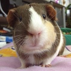"Guinea pig named Mikay posing...she says ""Am I done now""? pinned with Pinvolve - pinvolve.co"