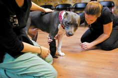 A Pit Bull Terrier with a severed paw walks again, thanks to a generous prosthetic company and compassionate humans — read the full story: #DogLovers #Dogs
